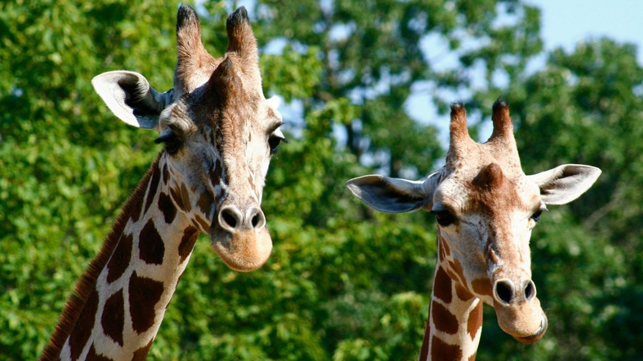 One of the last FREE zoos in the United States, Como is home to a wide array of animals and plants and welcomes visitors 365 days a year.